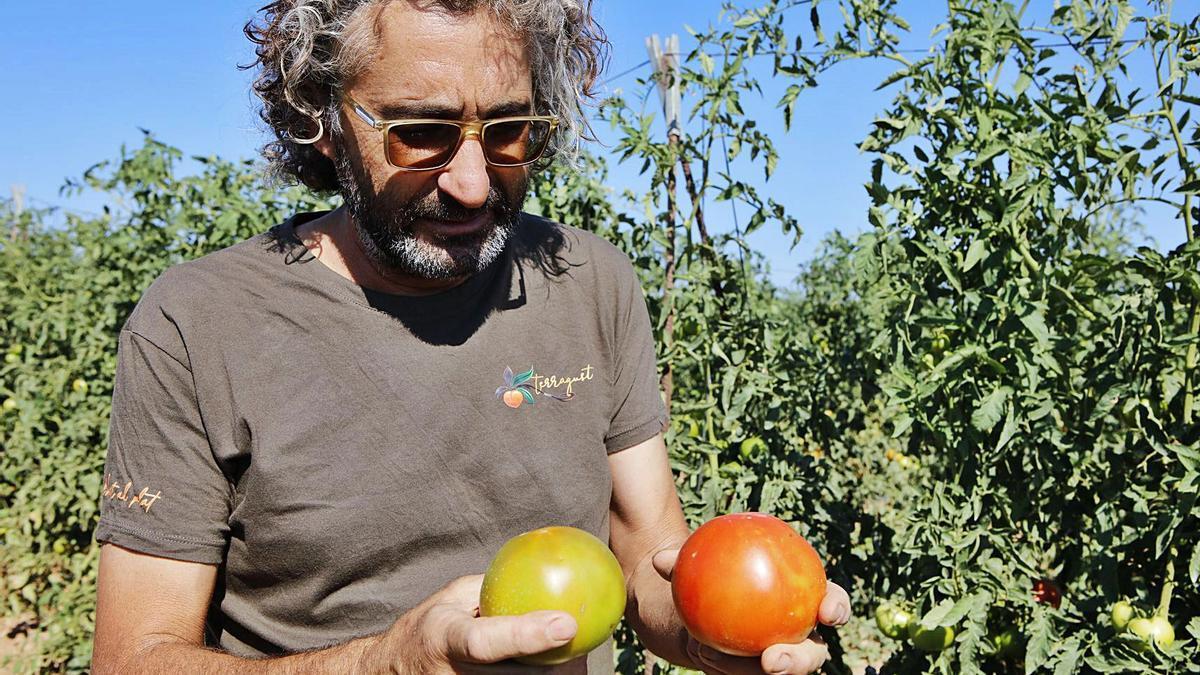 Maties Adrover erklärt auf dem Feld von Terracor den Qualitätsunterschied von reif und unreif gepflückten Tomaten.    FOTO: NELE BENDGENS