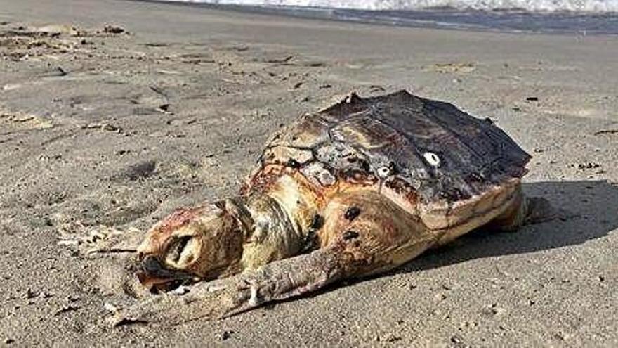Aparece muerta una tortuga boba en  Formentera