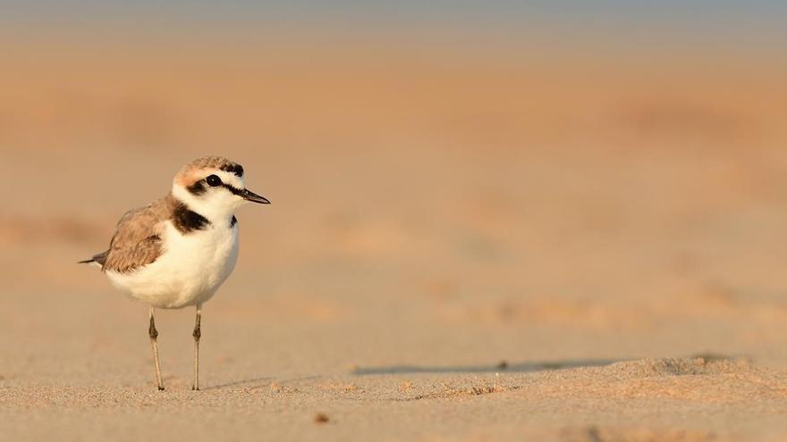 ¿Quieres ser voluntario para cuidar la nidificación del chorlitejo en Castelló?