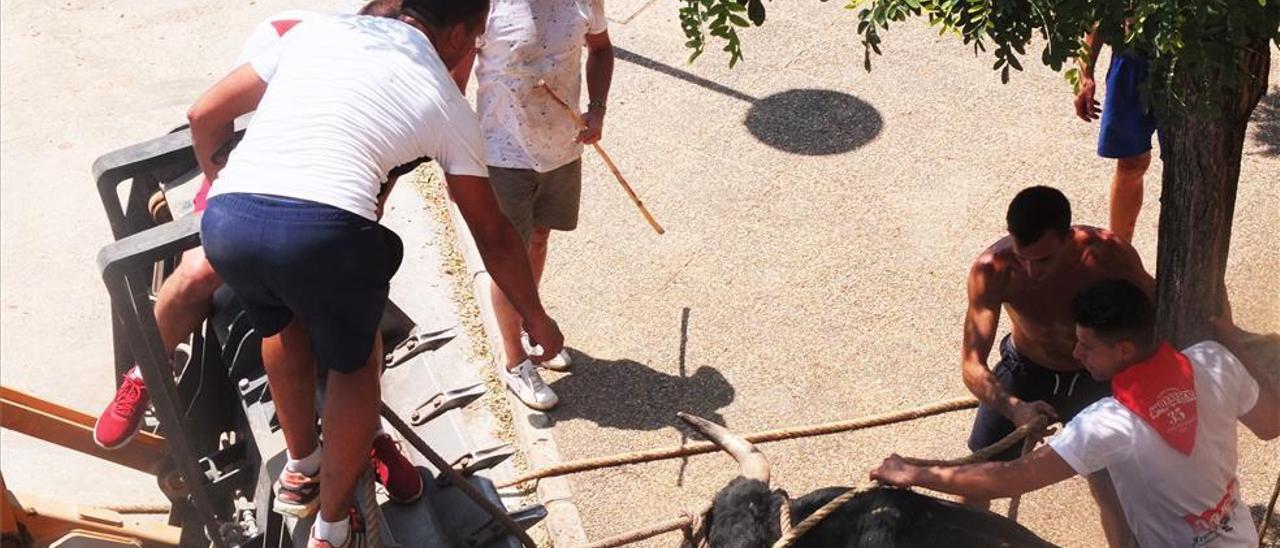 Capturan a los 6 toros y 4 mansos escapados del encierro de la Vall