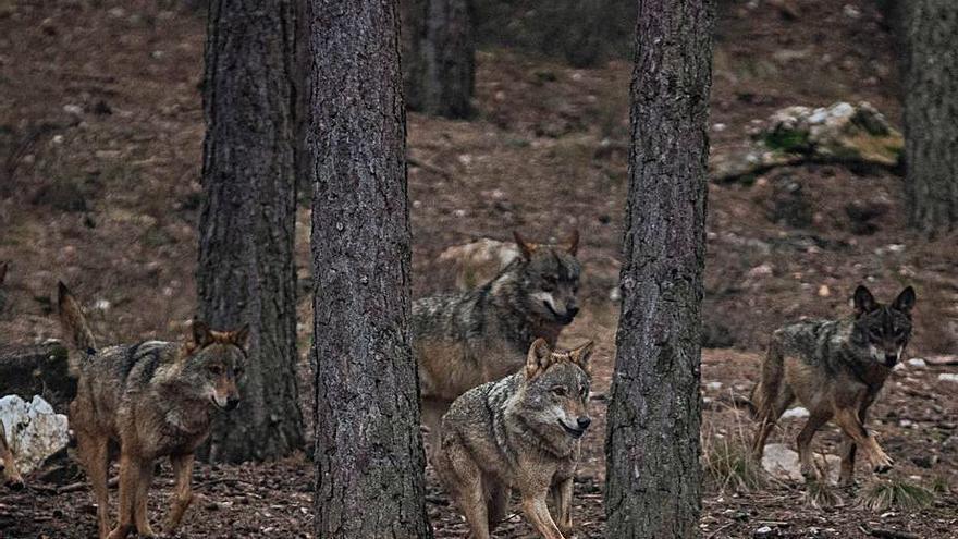 Estos son los firmantes del manifiesto de WWF en favor de la protección del lobo