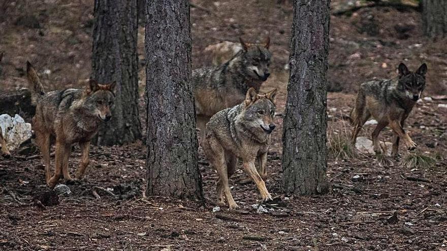 UPA presenta diez puntos de alegaciones contra la protección especial del lobo