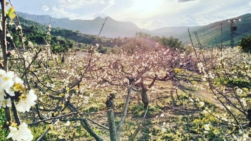 Empieza la floración de los cerezos en la Vall de Gallinera