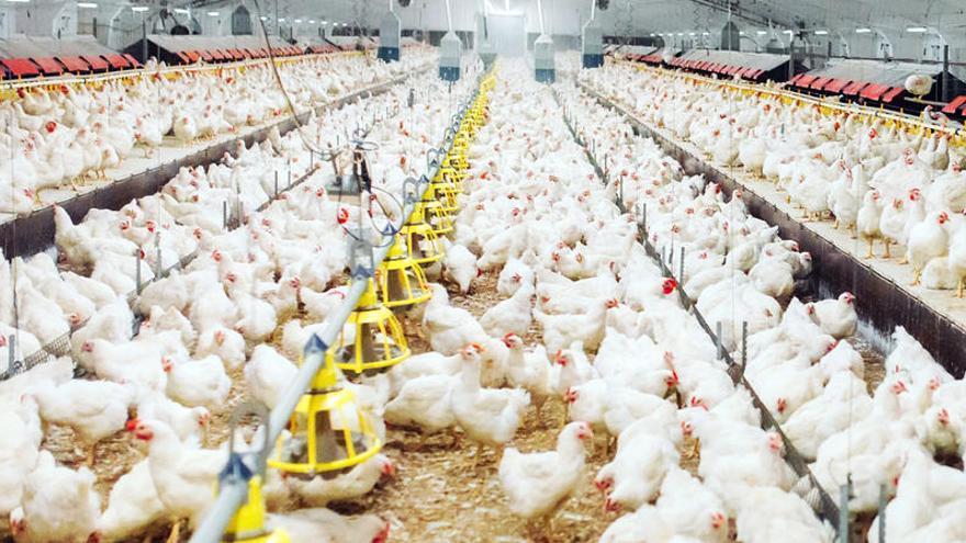 Roban más de 25.000 gallinas en una granja avícola en el norte de Colombia