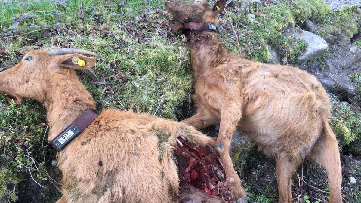 Dos cabras de las muertas por el ataque del lobo en Meira