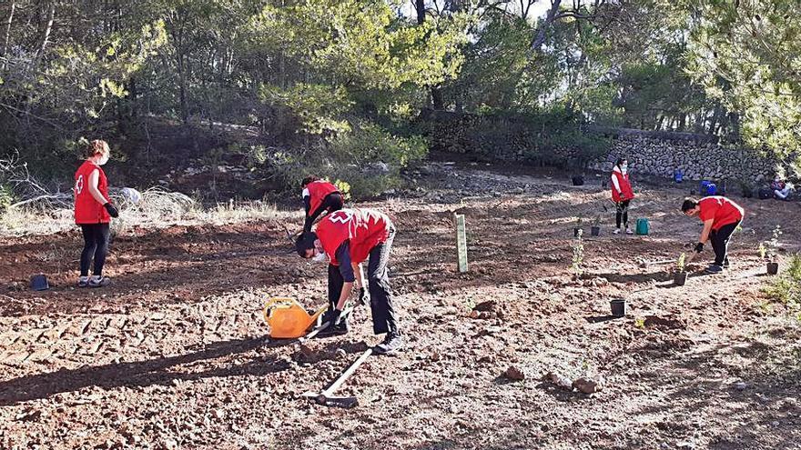 Siembran 460 pinos y plantas en una zona erosionada del bosque de Bellver