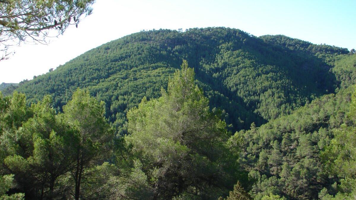 La mala prensa de los pinares en España: un mito social