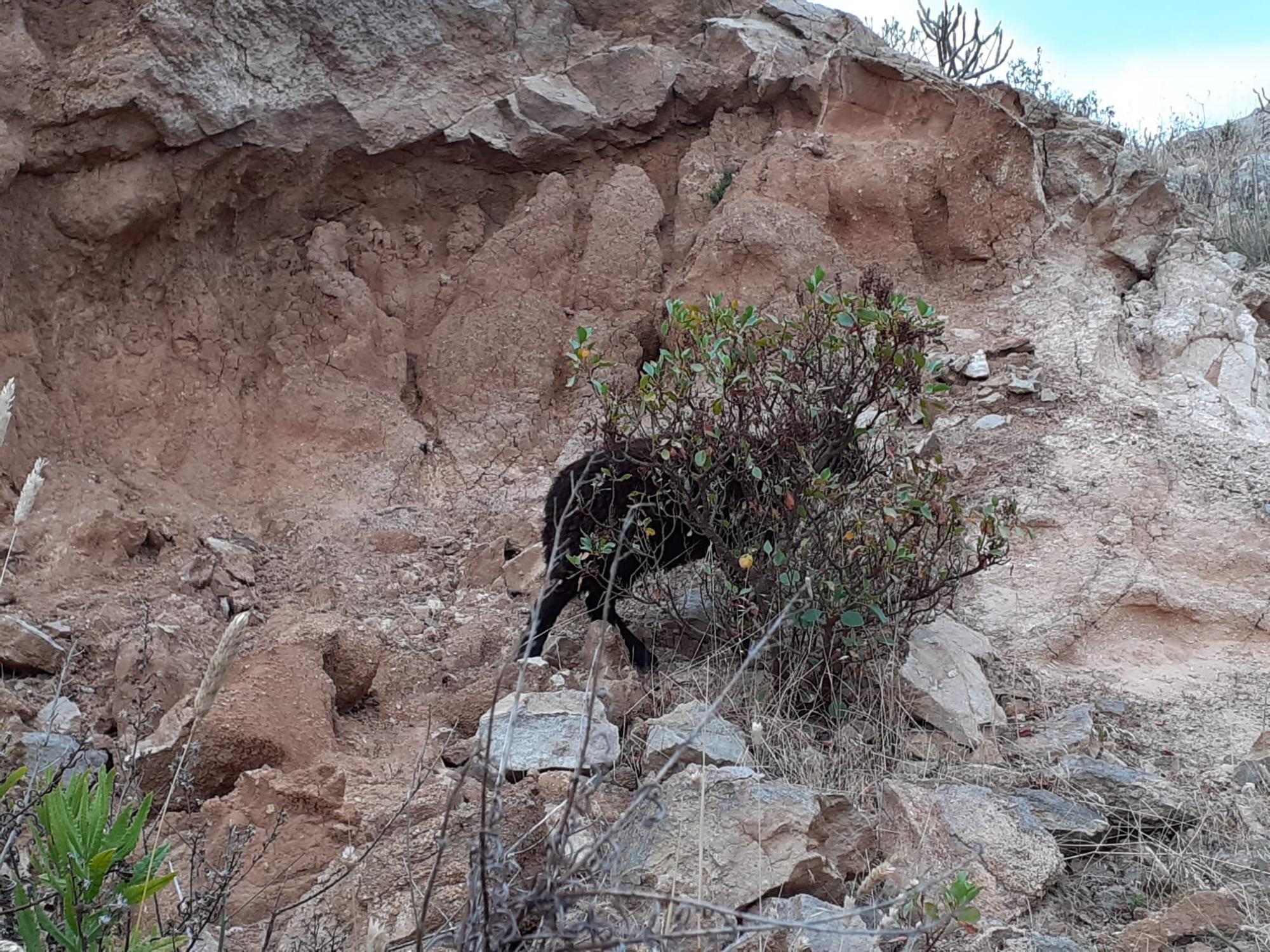 Rescatan una oveja en Ciudad del Campo