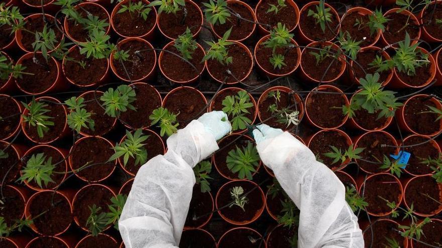 Clausuran un club de cannabis en Gijón y requisan toda la mercancía