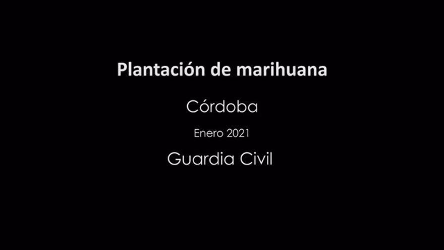 Desmantelan una plantación de marihuana en Fernán Núñez