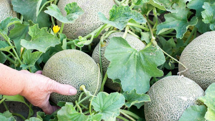 Carrefour apuesta por el producto local y venderá melones de Castellón