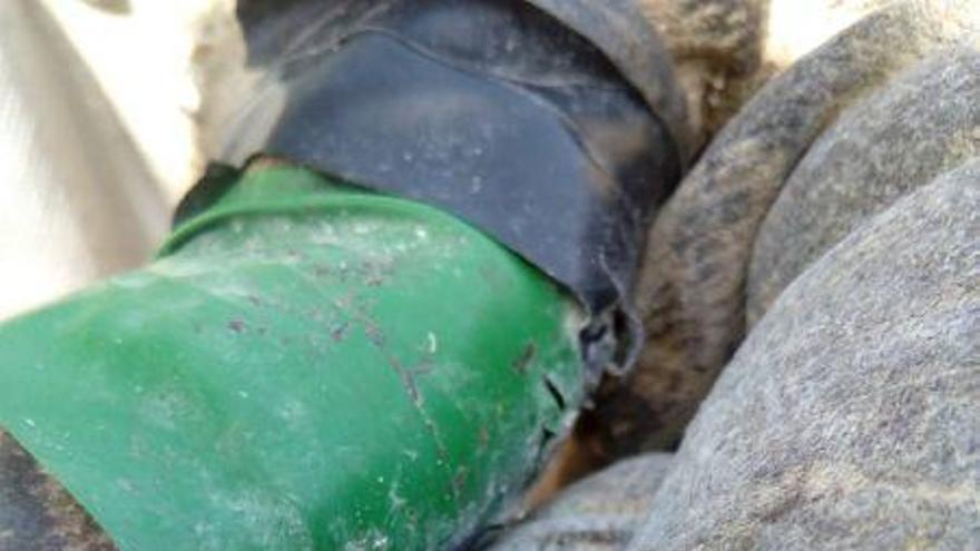 Ejemplar de avispa asiática encontrada por una apicultora en Hermisende