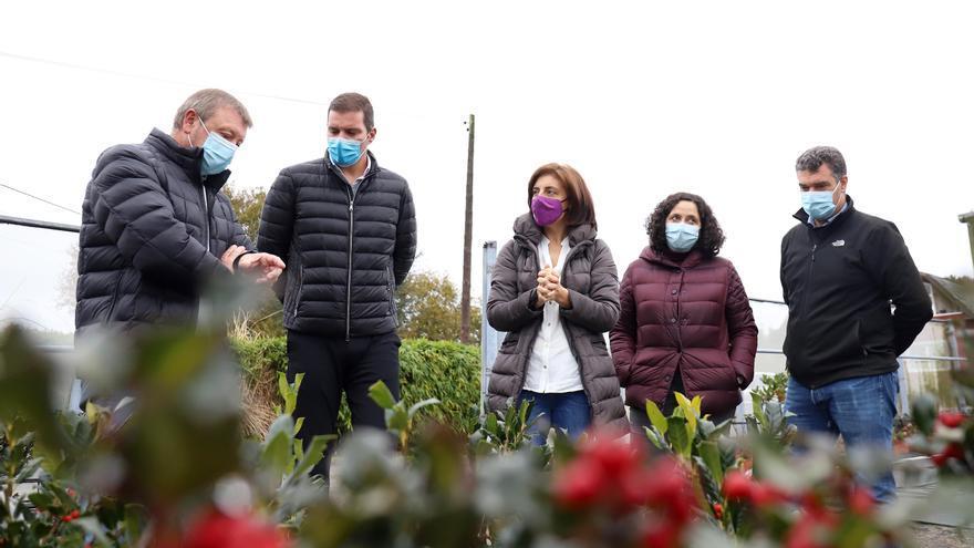 Acebos cultivados en A Estrada, referentes en la Navidad internacional