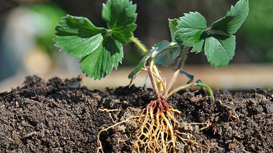 Descobreixen com les arrels busquen la humitat del sòl