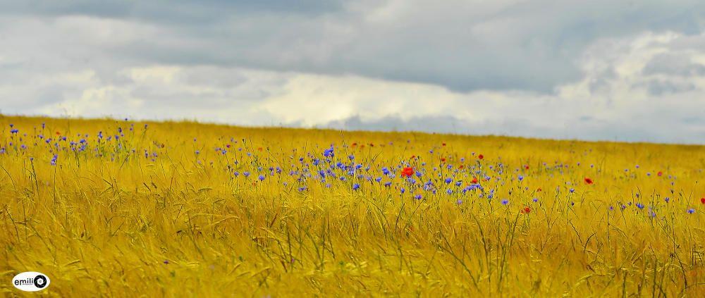 Contrast. Aquests dies hem pogut veure com molts camps de blat ja comencen a ser segats. En aquesta imatge encara no ha passat això i podem veure una fotografia preciosa del blat i les flors acompanyats del sol.