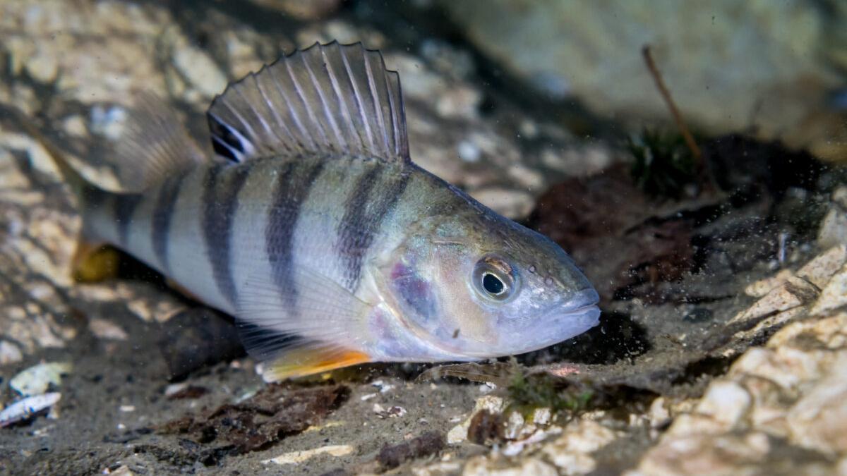 Así se 'drogan' los peces con los antidepresivos que lanzamos al wc