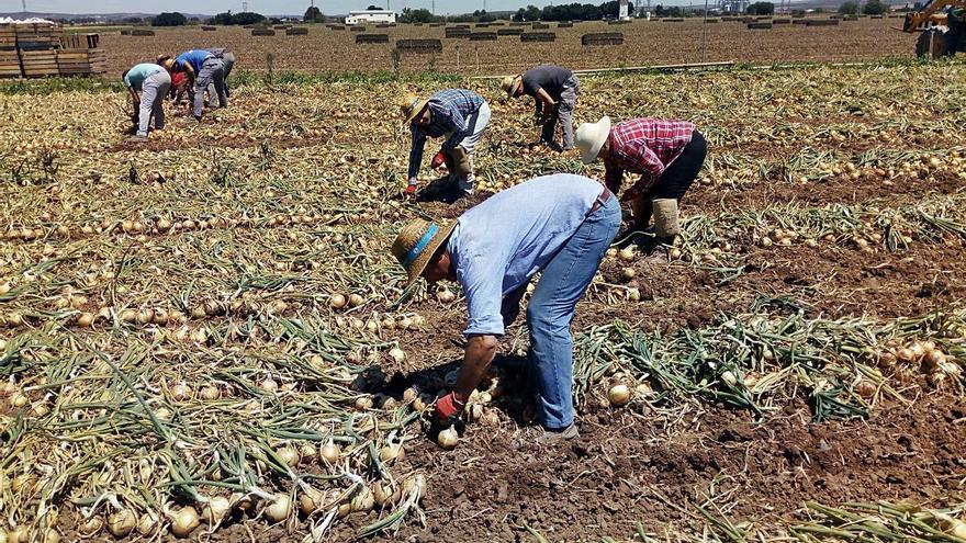 Las importaciones  amenazan el inicio de la campaña de la cebolla
