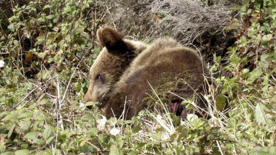 Muere una hembra de oso pardo por un disparo durante una cacería en Palencia