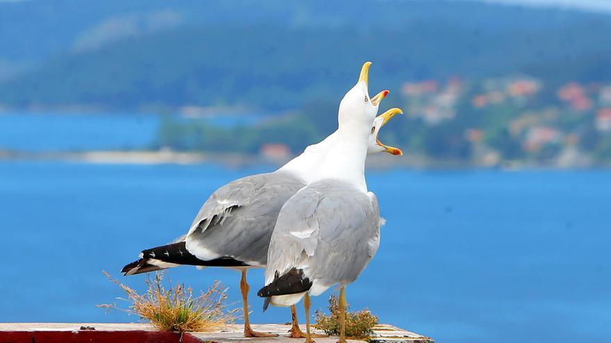 Las gaviotas de Vigo podrían estar sufriendo efectos tóxicos