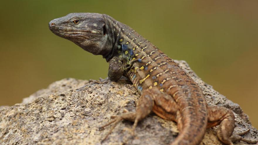 El tamaño de los lagartos marca el paso hacia una futura extinción