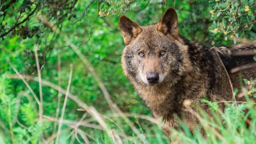 Primera condena a dos cazadores por matar un lobo en Ávila de forma ilegal