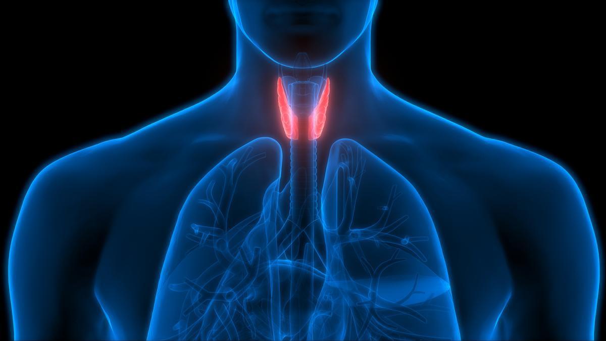 Representación del lugar en el que se encuentra la glándula tiroides