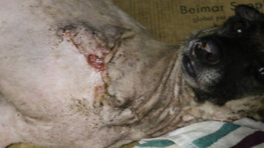 Investigan a dos vecinos de Chapela que tenían 11 perros en condiciones deplorables