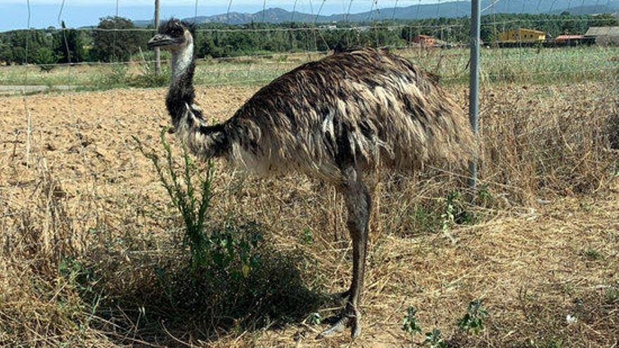 Un caçador troba l'emú que havien robat en una finca de Llagostera