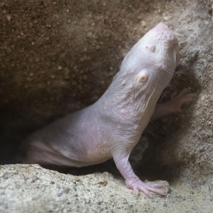 Nacen ratas topo en Bioparc Valencia