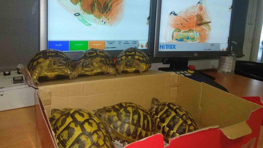 Intervienen en el aeropuerto de Palma seis tortugas ocultas en una caja de zapatos