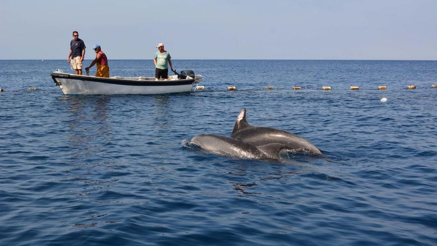 Liberados 2 delfines mulares atrapados en la almadraba de La Azohía