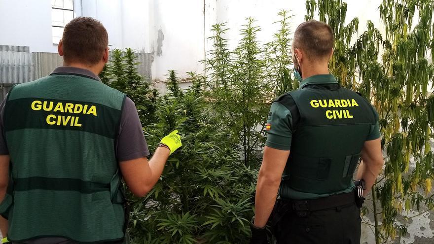 Tres investigados en Puente Genil por cultivar marihuana en patios comunitarios
