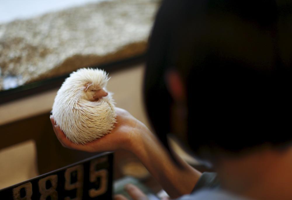 Una mujer sostiene un erizo blanco en el café Harry, una cafetería temática tokiota dedicada a los erizos, que en el país nipón son mascotas típicas.