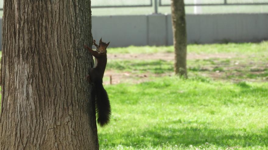 Sueltan nuevas ardillas rojas en el Jardín del Turia