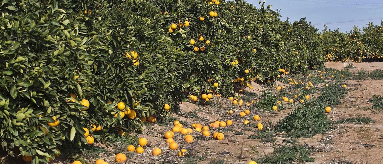 Imagen de archivo de un campo de cítricos en Sagunt. Daniel Tortajada