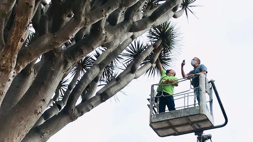 Los Realejos realiza una inspección de las copas de los dragos gemelos