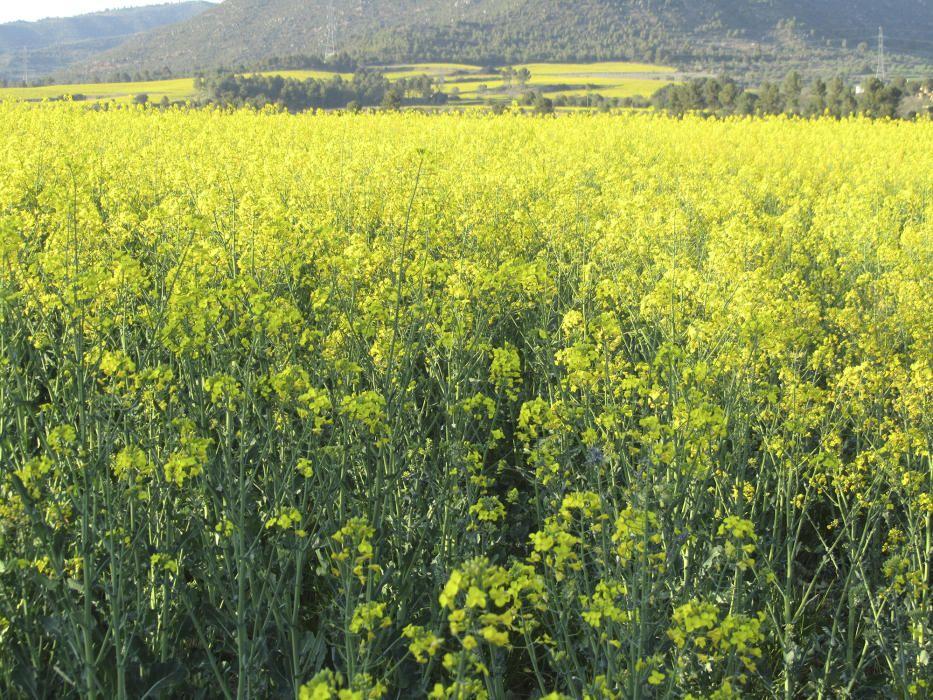 Colza. Brassica napus, de la família de les brassicàcies (la de les cols). És com una varietat de nap que es conrea per les llavors. Floreix al principi de la primavera, amb unes flors d'un groc molt viu que en una extensió gran causa un impacte visual.