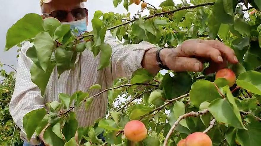 Porreres presenta su campo experimental de variedades de albaricoque