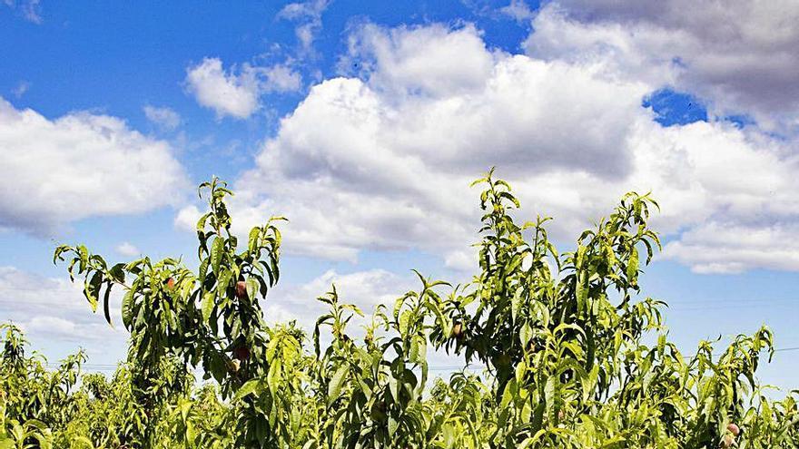 Ni la merma de cosecha garantiza la rentabilidad a la fruta de hueso