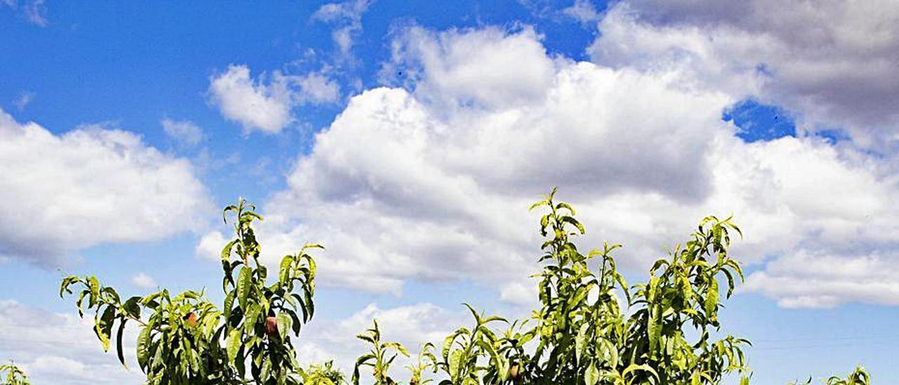 Un campo de Carlet con la cosecha dañada. | PERALES IBORRA