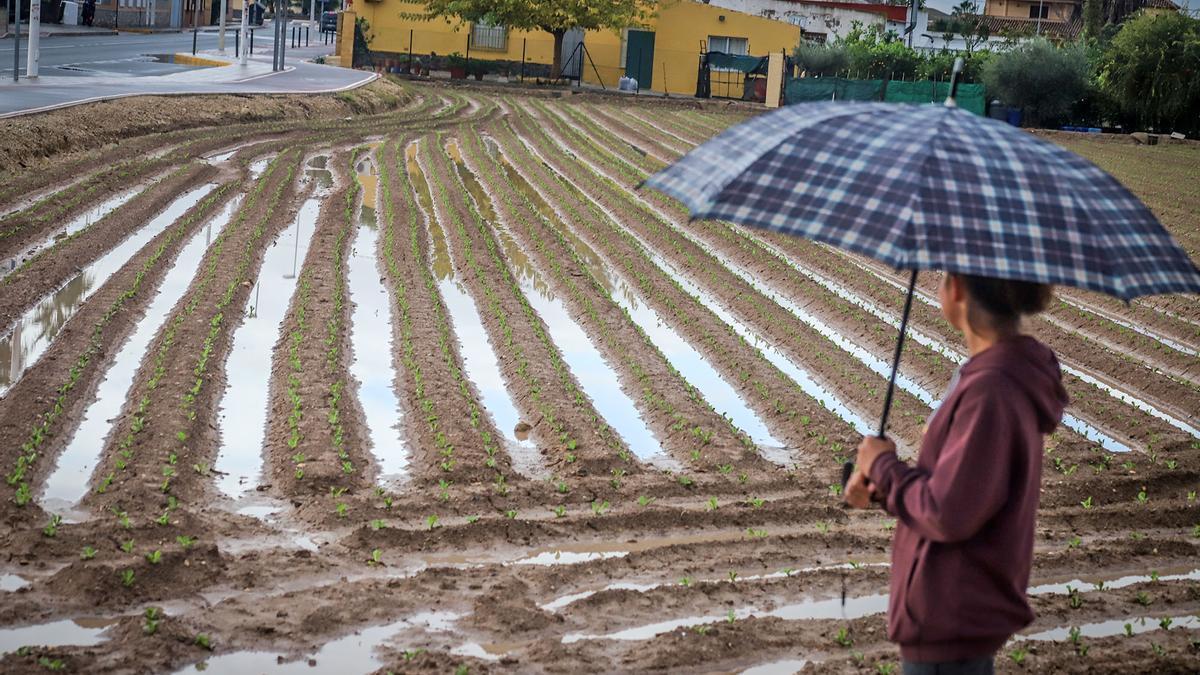 Imagen de un bancal de la huerta tradicional en un jornada de lluvia en Orihuela