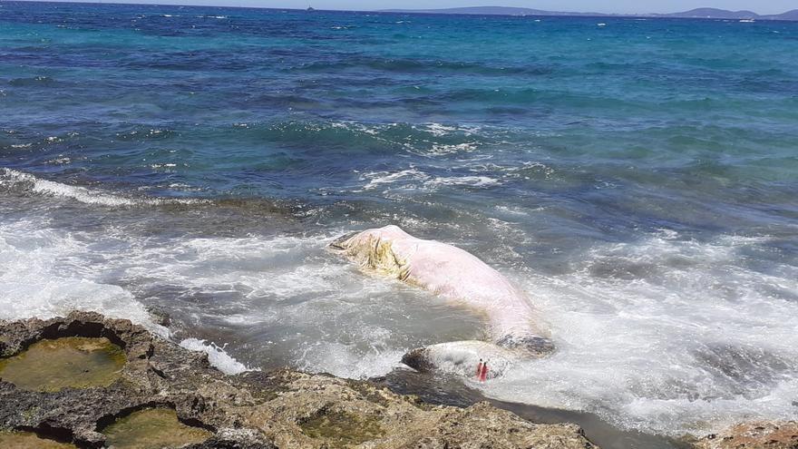 Aparece un cachalote muerto en la cala de Son Caios, junto a Can Pastilla