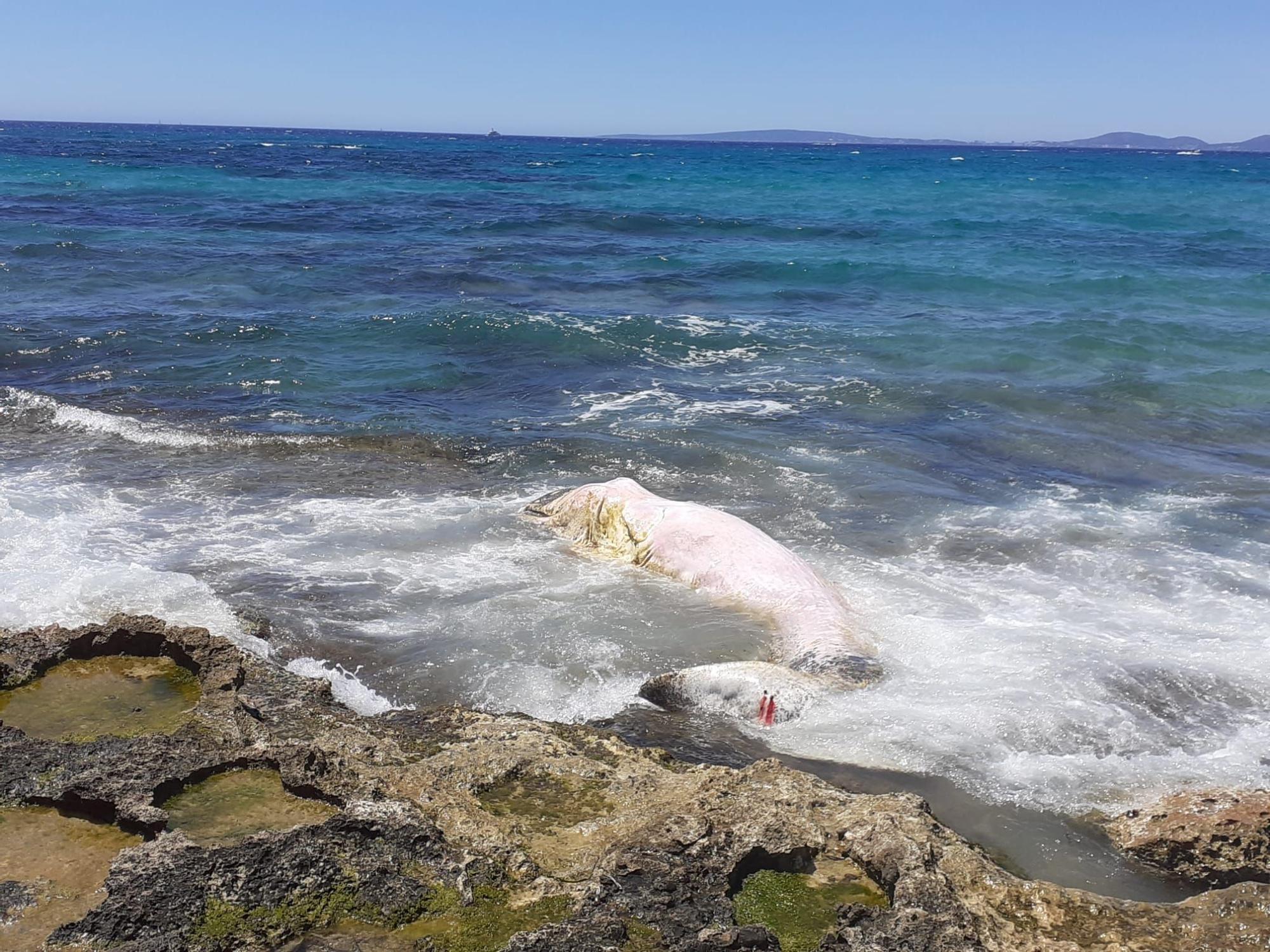 Aparece otro cachalote muerto, esta vez en la Bahía de Palma