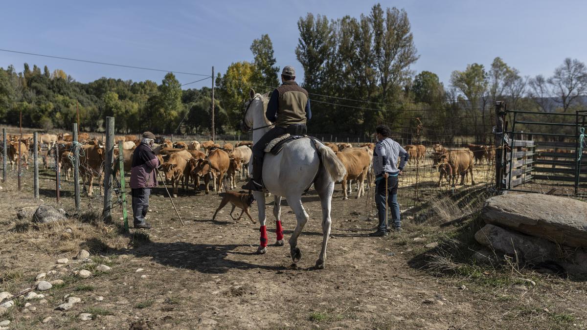 Ganaderos guían a las vacas en el camino de vuelta