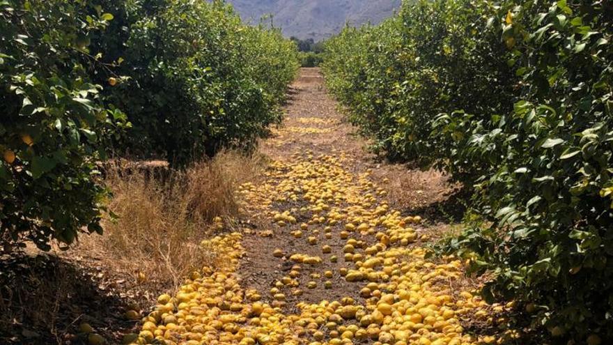 La Unió denuncia pérdidas de 52 millones en la campaña del limón