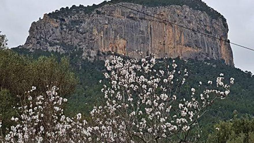 Mandelblüte auf Mallorca: Es geht schon wieder los!
