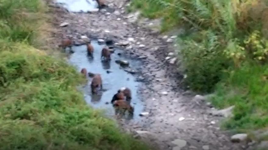Un grupo de jabalís sorprende en Gandia