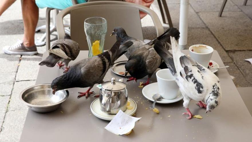 """Gaviotas y palomas desquician a los hosteleros vigueses: """"Arrasan con las terrazas"""""""