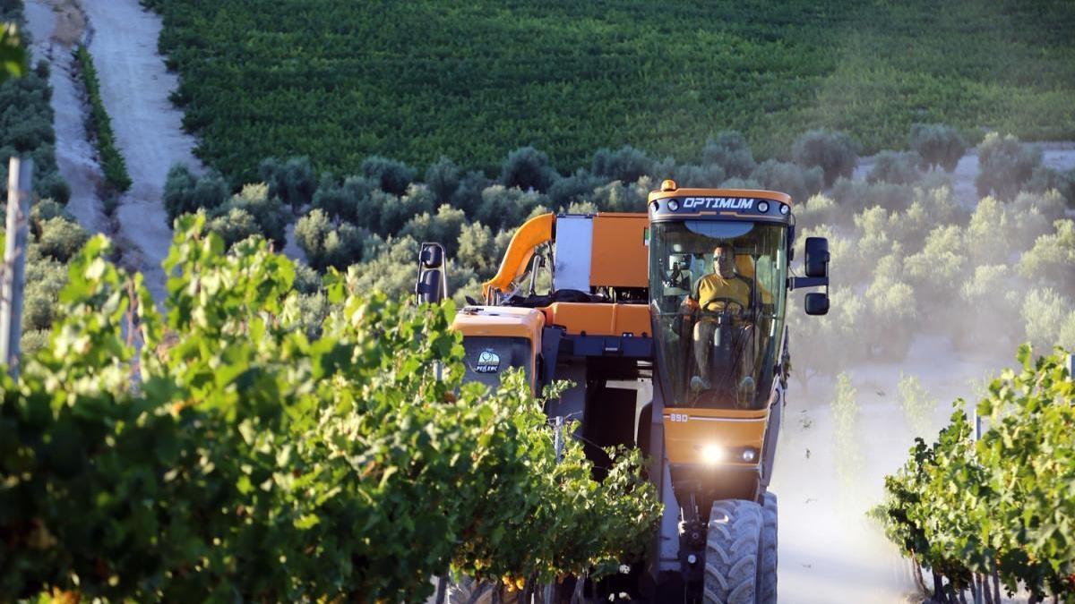 La recolección de las variedades de uva blanca marcará el inicio de una de las primeras vendimias de Europa