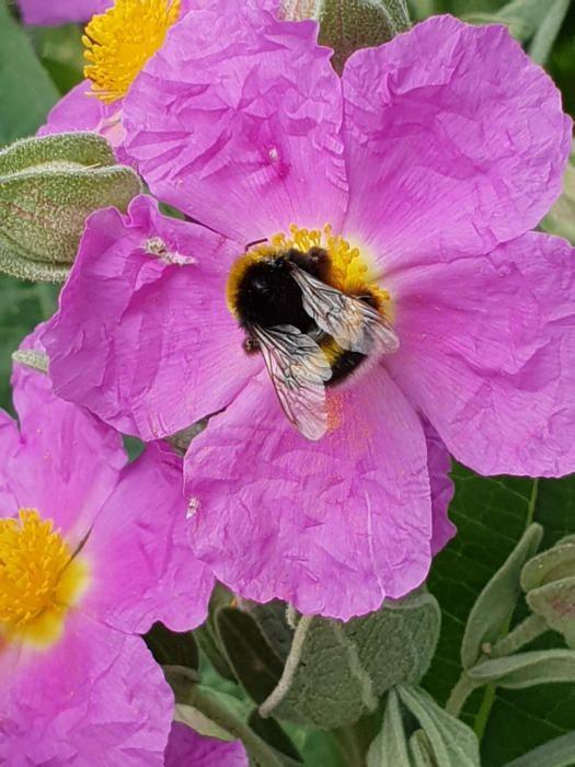 Pol·linització. En aquesta imatge que ens ha fet arribar una de les nostres lectores podem veure una de les moltes abelles que ronden les flors que hi ha al seu jardí, a la població del Pont de Vilomara.